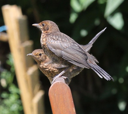 Twin Juvenile Blackbirds