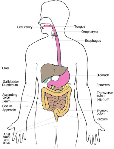 organs in digestive system. Why a Good Digestive System is