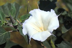Jimson Weed (birding4ever) Tags: 5 americanriverparkway sailorbar jimsonweed naturesfinest simplyflowers daturastramonium floralfantasy languageofflowers freeflickrflowers~fff~ worldnatureandwildlifegroup ohnonotanotherflower naturebirdsandwildlife thewonderfulworldofnature naturewithallitswonders floraaroundtheworld fffioriefarfalleflowersbutterflys prestigenaturecompetitionsrus thenaturesbestwildlifegroup birdsarebestbutnatureisfabtoo mostbeautifulmacroimages