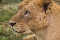 Sunday Safary (tropicaLiving - Jessy Eykendorp) Tags: wild wallpaper portrait animal closeup female expression lion bigcat endangered 2008 carnivorous lioness animalkingdom vulnerable pantheraleo criticallyendangered myqueen animalcloseup ef70300mmf4056isusm animaladdiction canoneos50d tropicaliving vosplusbellesphotos jessyce tropicalivingtropicalliving sundaysafary