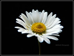 L'ombelico del mondo (For Michelle) (B@rbar@ (Barbara Palmisano)) Tags: white black flower macro nature yellow petals natura giallo daisy fiore petali bianco nero margherita ohhh onblack polline macrolicious photographyrocks mywinners theperfectphotographer excellentsflowers natureselegantshots