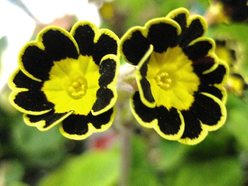 Yellow black flower gallery flower decoration ideas yellow black flower gallery flower decoration ideas yellow black flower gallery flower decoration ideas yellow black mightylinksfo
