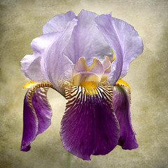 Inner Light (melepix) Tags: november iris macro texture june square bloom getty excellence atque memoriesbook lavandulacea alemdagqualityonlyclub vosplusbellesphotos melindamoore memoriesbook5 bearderiris gettyinvited artistpickpoolnov2011