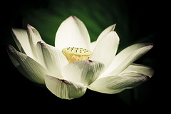 Lotus (ddsnet) Tags: plants gallery lotus sony aquatic 700 aquaticplants         plants  aquatic 700 photoshavebeeningallery