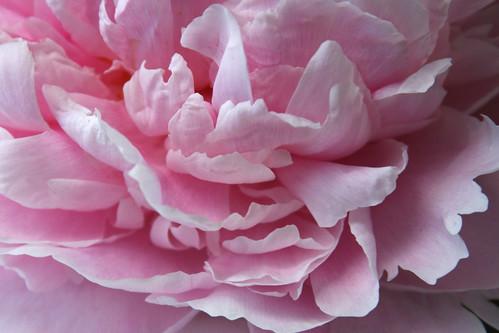 pink peonies4
