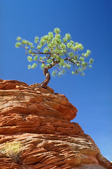 "Overcoming Adversity - Tree Clinging To Rocky Ledge (IronRodArt - Royce Bair (""Star Shooter"")) Tags: cliff plants nature rock stone pine sandstone alone roots rocky ledge summit effort lonely strength difficult concept conceptual root solitary success survival struggle gnarled survivor lonetree struggling cling gnarl rooted overcome clinging survive difficulty ontop adversity succeed successful overcoming adverse"