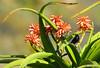 Black Sunbird pair on Aloe barberae (Martin_Heigan) Tags: chalcomitra amethystina tree aloe barberae black sunbirds swart suikerbekkie aalwyn boom zoom telephoto wsnbg bird sunbird winter wimberleyheadversionii wh200 sigma170500apo martin heigan suidafrika nikonstunninggallery photograph camera digital flower dslr d200 succulent nature close nikon mhsetaloes mhsetbirds bokeh dof southafrica boomaalwyn