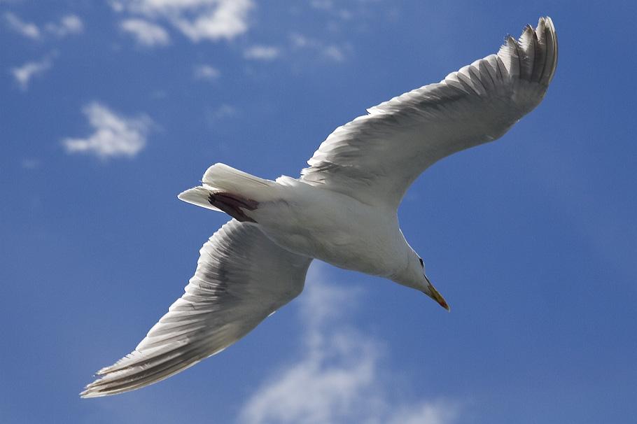 Seagull_3003