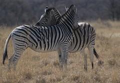Zebres (courregesg) Tags: africa park trip game nature animals zimbabwe botswana animaux chobe reserves okavango naturelle afrique bivouac