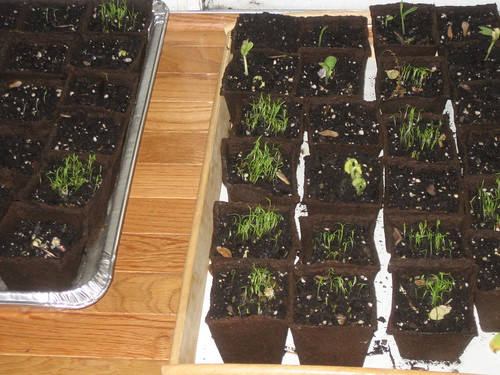 4/26/10 Our seed pots sprouting.