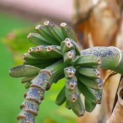 double hélice de bananes / bananas double helix (OliBac) Tags: green fruit bokeh vert banana banane montenegro mmx olibac bečići olympussp560uz бечићи mmx101