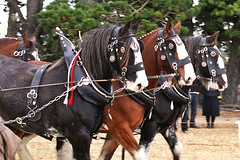 Clydesdale Power. (Hugh McCall) Tags: horse wagon shoe working plow harness heavy plough draft draught cultivating reins reiens
