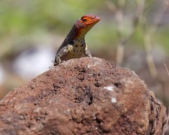 Female Lava Lizard (Tropidurus) at Airport