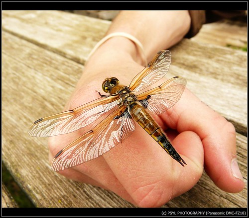 Four-spotted Skimmer (Libellua quadrimaculata)