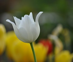 White Angel (emeraldspiryt) Tags: flower whiteflower dof blossom bokeh tulip bloom maymontpark italiangarden whitetulip