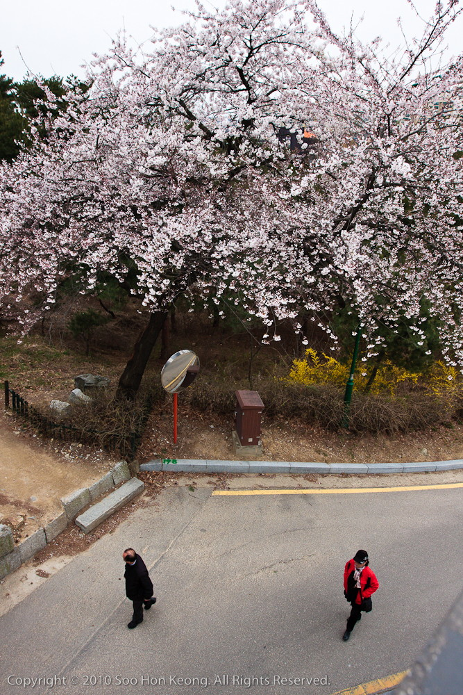 Under a blossom tree @ Suwon, Korea