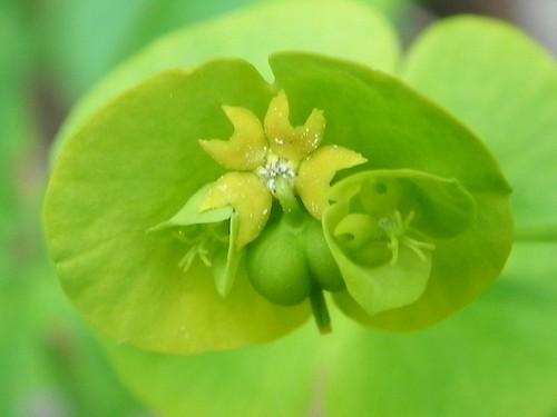 Euphorbia amygdaloides=Euphorbe à feuilles d'amandier - Sentier Botanique Marthod 015