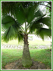 Bismarckia nobilis (Bismarck Palm, Bismark Palm), the green-leaved form