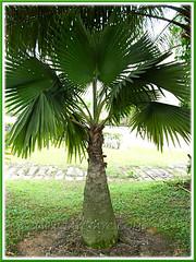 Bismarckia nobilis (Bismarck Palm, Bismark Palm), the green-leaved form