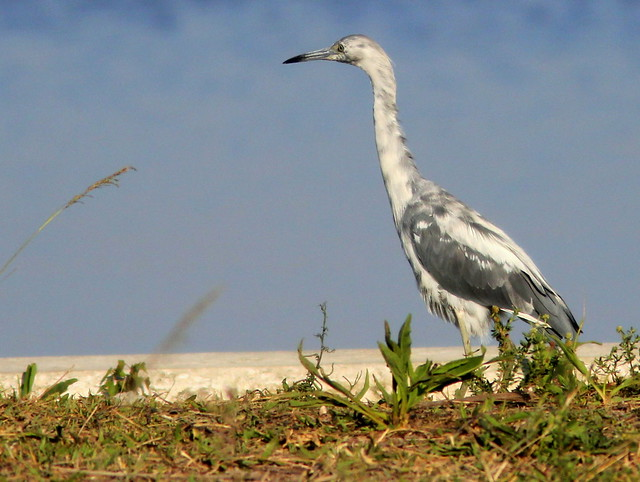 Little Blue Heron 20110526