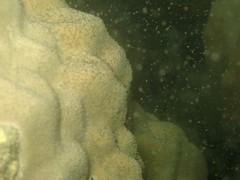 微孔珊瑚產卵的情形(海管處提供)