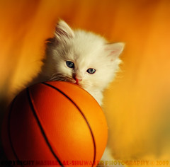 Do You Want To Play Basketball !! (Mashael Al-Shuwayer) Tags: pet animal basketball digital cat canon ball eos 50mm kitten kittens saudi arabia saudiarabia alkhobar 400d pet100 mashael alshuwayer