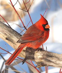 Northern Cardinal (JRIDLEY1) Tags: winter snow tree bird nikon searchthebest d3 northerncardinal naturesfinest specanimal zenfolio anawesomeshot brightonmichigan natureselegantshots jridley1 jimridley dailynaturetnc09 httpjimridleyzenfoliocom photocontesttnc10 lifetnc10 jimridleyphotography photocontesttnc11 photocontesttnc12