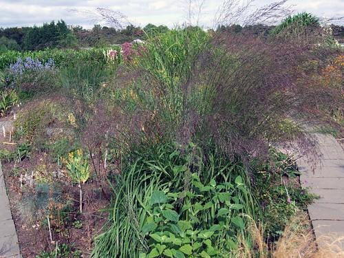 MOLINIA caerulea ssp. arundinacea 'Bergfreund'