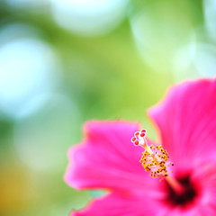 Curious as to how the day would turn out, the little hibiscus bloom decided there was only one way to find out... (.I Travel East.) Tags: pink flower macro green fleur yellow petals flora nikon dof bokeh cyan hibiscus stamen bloom curious nikkor cgb gumamela 105mm d700 hibiscuspink