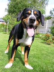 Oskar (manfred.d) Tags: dog entlebucher swissmountaindog entlebuchersennenhund mountaindogs entlebuchermountaindog