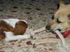 Just wait till I get a grip here! (PJSherris) Tags: dog pets cute puppy mutt eyes king sweet adorable charles olympus spaniel cavalier alpha shelter pound blenhiem ckcs tugging c4040z
