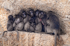 Piled baboons 2