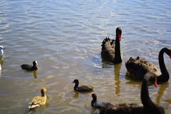 black swans (pink mochi) Tags: mito blackswan kairakuen umematsuri plumblossomfestival