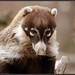 White-nosed Coati - Photo (c) Art G., some rights reserved (CC BY-NC-ND)