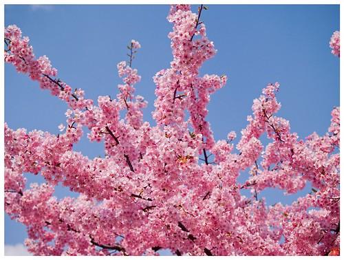 Cherry Blossom 090310 #01