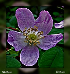 Wild Rose (diecastbc) Tags: flowers wild rose spring sensational picnik