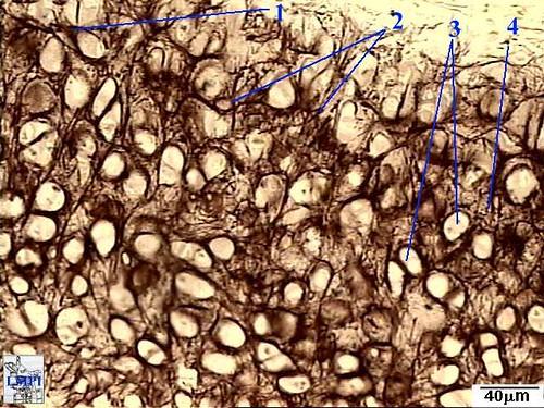 figura2_cartilagem