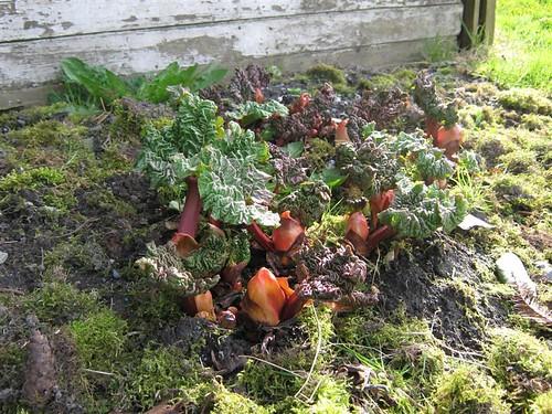 Rhubarb 0409