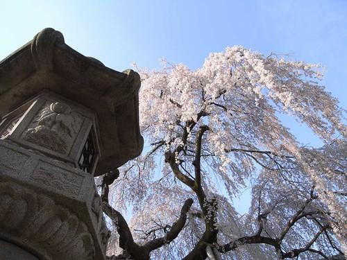 09-04-05【桜】@氷室神社-04