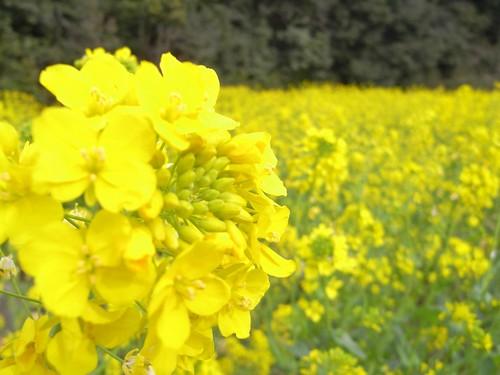「山の辺の道」@天理-菜の花
