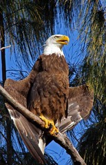 06 (triggermike) Tags: eaglesnest eagles pembrokepines