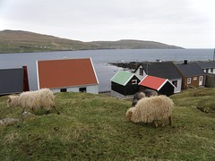 Sheep eating Grass in the Village Akrar in Suuroy (Eileen Sand) Tags: ocean houses nature grass village sheep nes faroeislands faroes froyar akrar suuroy seyur porkeri