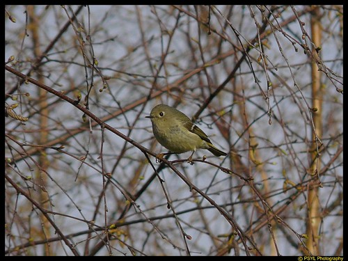 Ruby-crowned Kinglet (Regulus calendula)