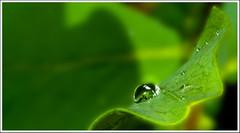 Gota (miguelangelortega) Tags: naturaleza color macro green nature leaves hojas drops nikon colores gotas catchy sigma105 d90 gardenmacro ltytr2 ltytr1 ltytr3 ltytr4 ltytr5 macromondays nikond90enespañol blushandbottlegreen redux2015myfavoritethemeoftheyear