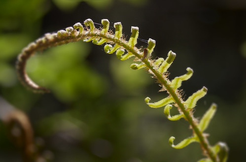 Fern, Point Reyes
