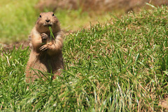 Prairie Dog at the LA Zoo (MickiP65) Tags: california wild usa nature animal animals mexico mammal zoo la rodent us losangeles wildlife exhibit mexican creation socal simplicity northamerica prairiedog prairiedogs lazoo creatures creature simple mammals rodents 2009 exhibits animalia mammalia allrightsreserved losangeleszoo zoos rodentia thirds cynomysludovicianus copyrighted ruleofthirds sciuridae chordata blacktailedprairiedog cynomys canoneos30d michellepearson cludovicianus 041609 04162009 apr162009