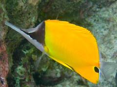 Yellow Longnose Butterflyfish by ciamabue, on Flickr