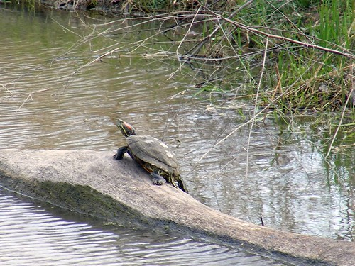 Maumee Bay Painted Turtle