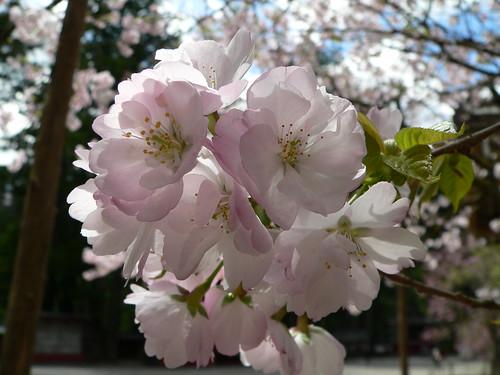 Japanische Kirschblüte 1