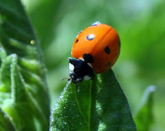a little privacy please (Robscaptures) Tags: orange macro ladybug primemacro